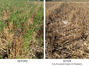 Fleabane before and after