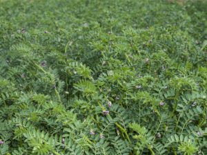 Chickpeas in field
