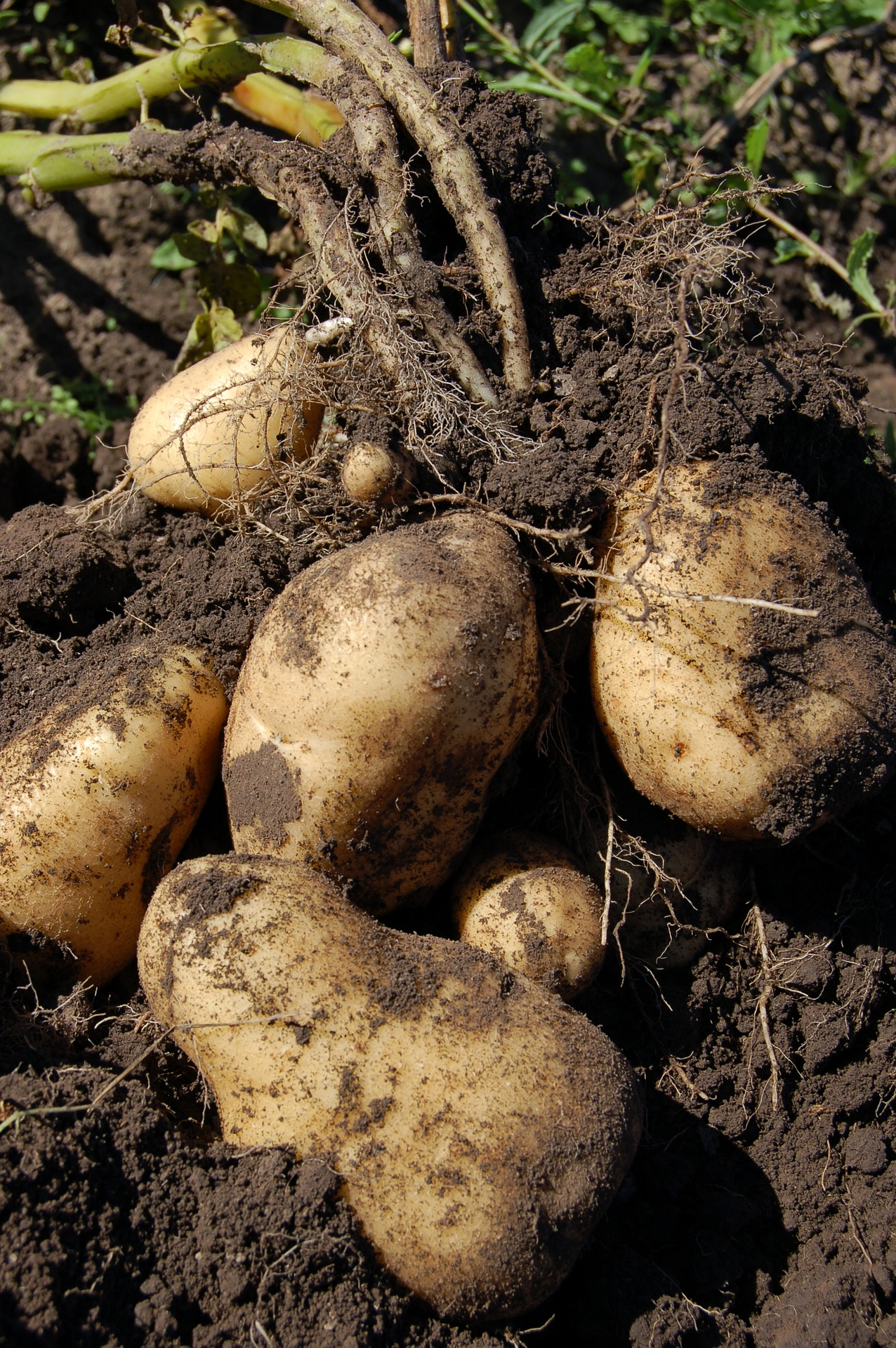 fungicidal treatment for potatoes or cereals