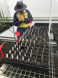 Trial in greenhouse